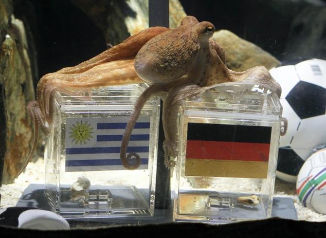 Ставший всемирно известным осьминог Пауль предсказал победу Германии.
