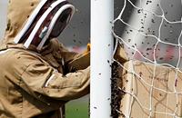 Пчелиный рой чуть не сорвал матч в Англии